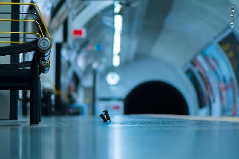Foto de ratos a lutarem no metro de Londres vence prémio fotografia de vida selvagem